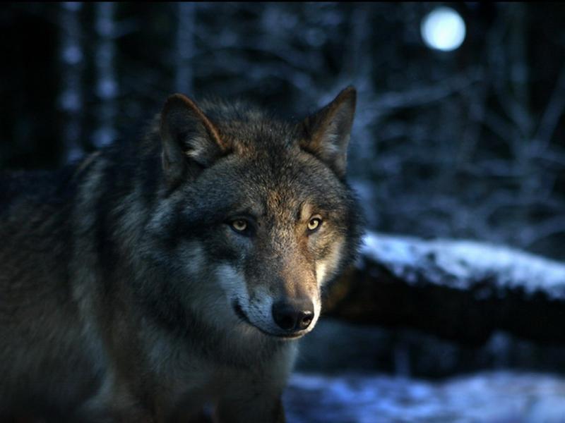 Стая волков напала намужчин вГлазовском районе