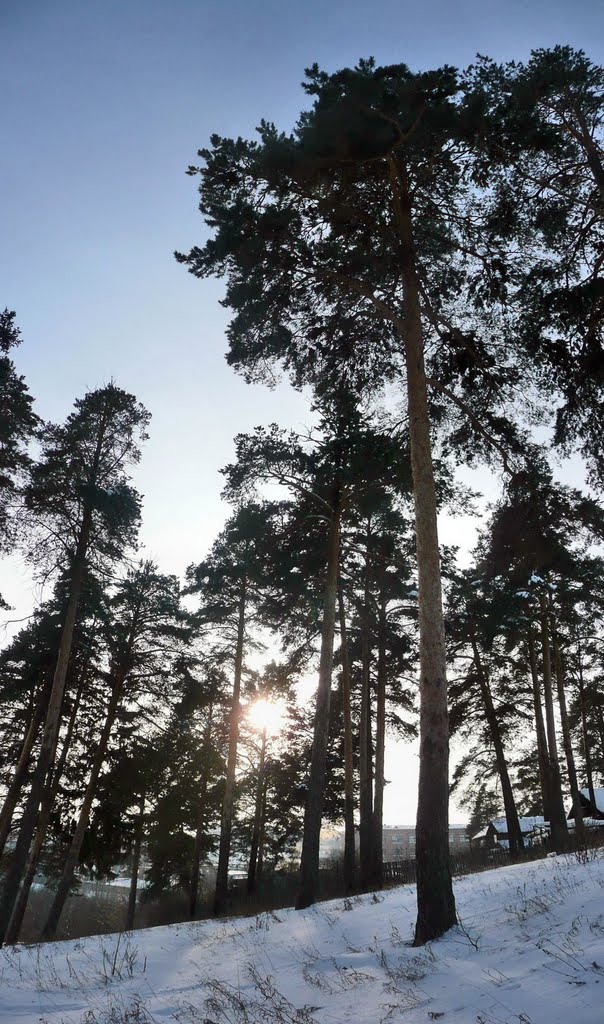 Сосновый лес между ипподромом и берегом Карлутки. Фото: ssl.panaramio.com