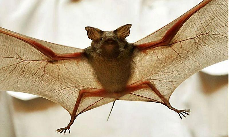 Летучих мышей-вампиров в мире всего три вида и все они обитают в Центральной и Южной Америках.