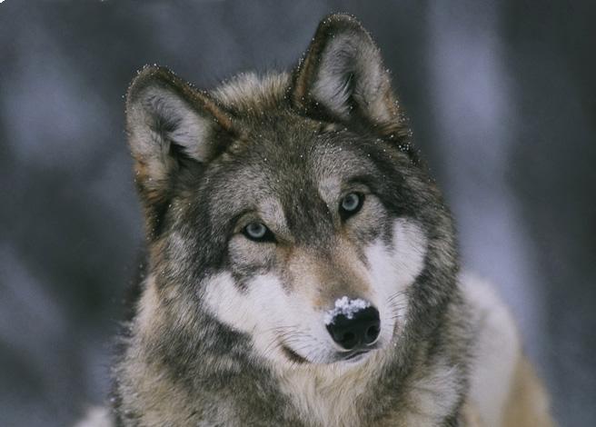 Минприроды опровергло информацию обувеличении популяции волков вУдмуртии