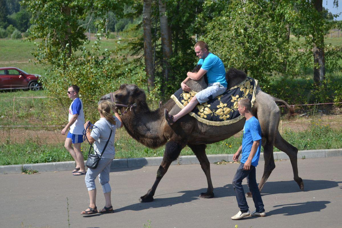 Помимо сгустков лошадиных сил на #БАФИ-2016 были представлены одиночные лошадиные и верблюжьи силы. Фото: Александр Поскребышев