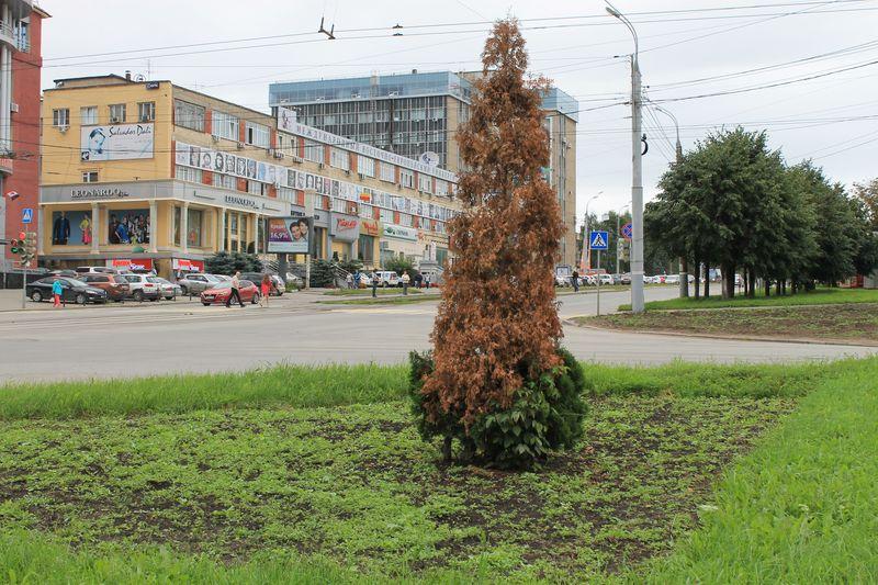 Высохшая туя на Пушкинской-Кирова. Фото ©День.org