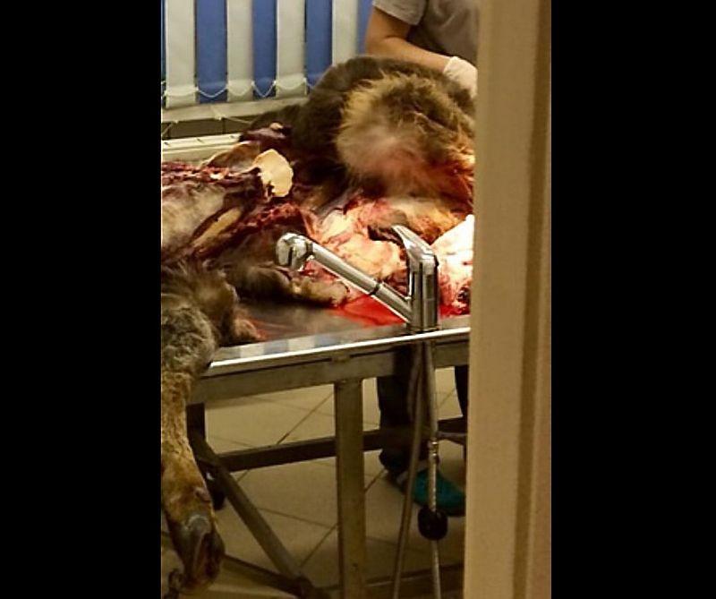 Вскрытие одного из погибших в январе 2020 г. оленей. Фото: © тг-канал «Это Щукин»